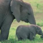 Carta al Rey de un elefante indignado: Más allá de otras consideraciones, por qué me matas?